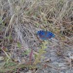Oribi Gorge blue butterfly