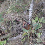 Oribi Gorge brown butterfly