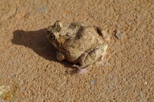 Mokala toad