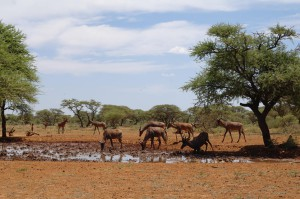 Red Hartebeest playing in the mud
