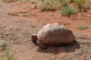 mokala tortoise