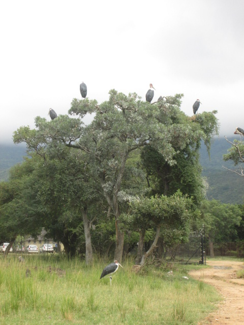 Marobou Storks at the entrance to Moholoholo