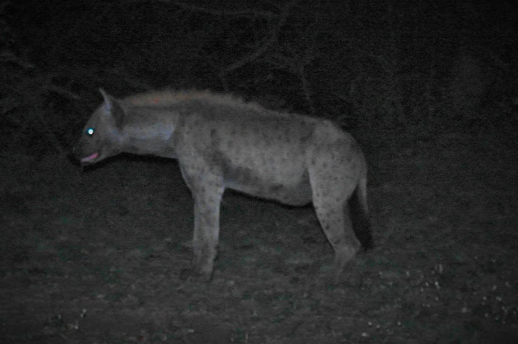 Mpila hyena 3 (2)