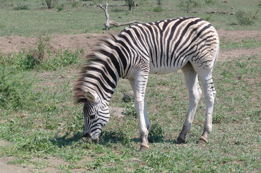 If hyena hunt the likes of Zebra, you are small fry