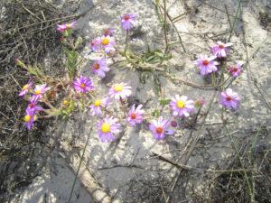 lamberts-bay-purple-daisies
