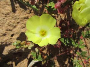 lamberts-bay-yellow-flower