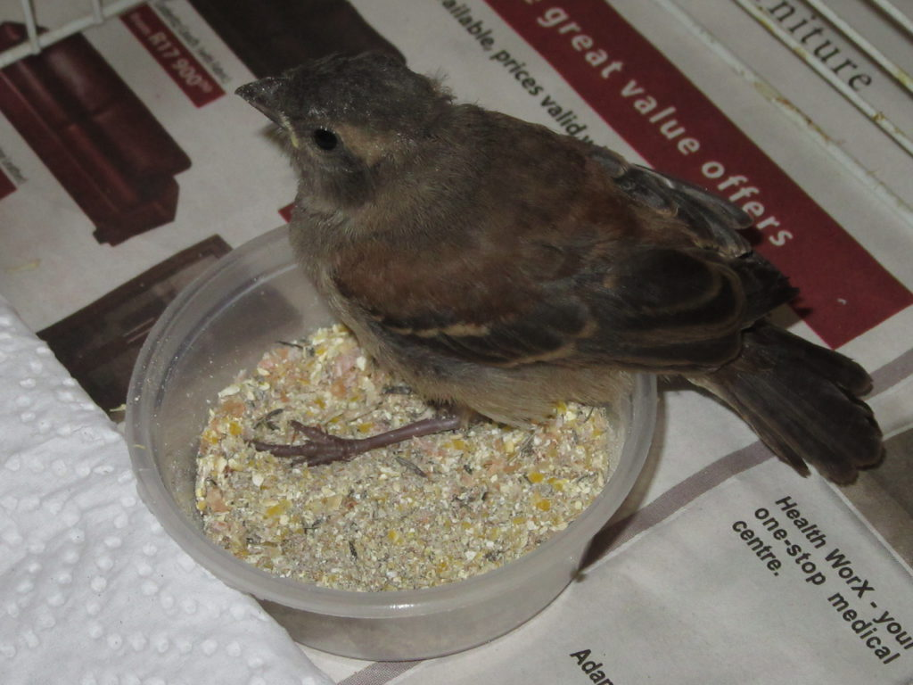 I was called to collect A mossie (Cape Sparrow) attacked by a cat. The leg was broken so I took it straight to Wildlife in Crisis