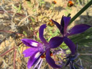 namaqua-purple