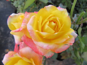 ludwigs-pink-yellow-rose