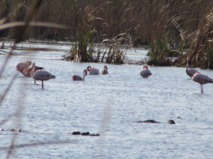 flamingos-marievale-bird-sanct