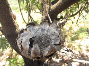 dry-protea