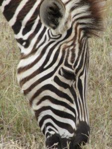 addo-zebra
