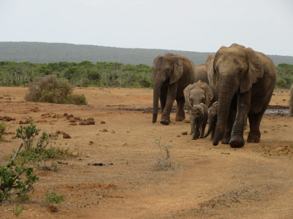 addo-elephant-family-walk