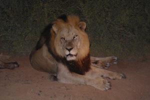 addo-lion