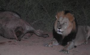 addo-lion-buffalo-kill